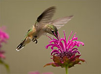 Hummingbird landscaping