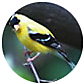 American Goldfinch, wild bird Library, wild bird feeders for goldfinches