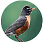 American Robin, wild bird Library, wild bird feeders for robins