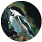 Black Capped Chickadee, wild bird Library, wild bird feeders for chickadees