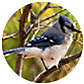 Blue Jay, wild bird Library, wild bird feeders for blue jays