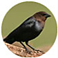 Brown Headed Cowbird, wild bird Library, wild bird feeders for cowbirds