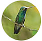 Buff Bellied Hummingbird, Hummingbird Library