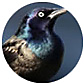 Common Grackle, wild bird Library, wild bird feeders for grackles