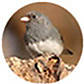 Dark Eyed Junco, wild bird Library, wild bird feeders for juncos