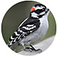 Downy Woodpecker, wild bird Library, wild bird feeders for downy woodpeckers