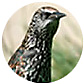 European Starling, wild bird Library, wild bird feeders for starlings