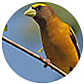 Evening Grosbeak, wild bird Library, wild bird feeders for evening grosbeaks