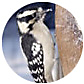 Hairy Woodpecker, wild bird Library, wild bird feeders for hairy woodpeckers