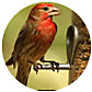 House Finch, wild bird Library, wild bird feeders for house finches