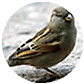 House Sparrow, wild bird Library, wild bird feeders for house sparrows