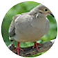 Mourning Dove, wild bird Library, wild bird feeders for mourning doves