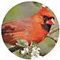 Northern Cardinal, wild bird Library, wild bird feeders for cardinals