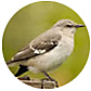 Northern_Mockingbird, wild bird Library, wild bird feeders for mockingbirds