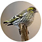 Pine Siskin, wild bird Library, wild bird feeders for pine siskins