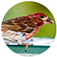 Purple Finch, wild bird Library, wild bird feeders for purple finches