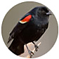 Red Winged Blackbird, wild bird Library, wild bird feeders for red-winged blackbirds