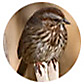 Song Sparrow, wild bird Library, wild bird feeders for song sparrows