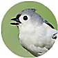 Tufted Titmouse, wild bird Library, wild bird feeders for tufted titmice