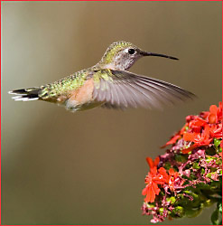 A hummingbird feeding at a flower