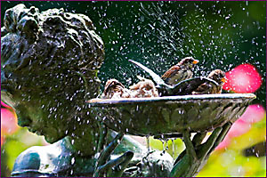 Birds bathing