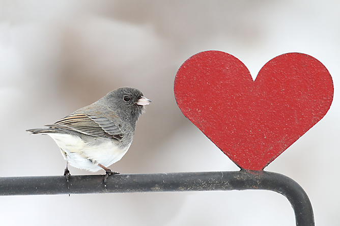 The Dark-Eyed Junco is a common bird to see in the winter.