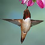 Hummingbird Food Guide