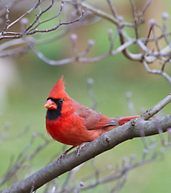 Lyric® Cardinal Bird Seed
