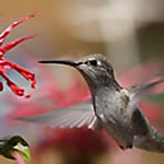 Hummingbird Attracted to Red