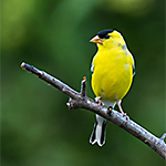 American Goldfinch Species Library