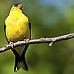 Beginner's Guide to Songbirds