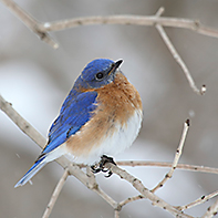 Eastern Bluebird ID