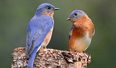 Bluebirds in Danger