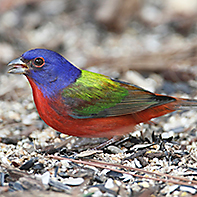Painted Bunting ID