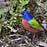 Painted Bunting rainbow
