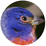Painted Bunting close up