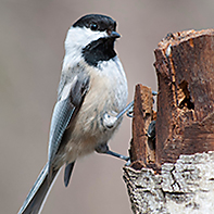 Black-Capped Chickadee ID