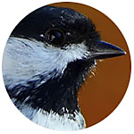 Black-capped Chickadee close up