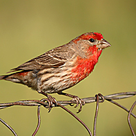 House Finch ID