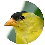 American Goldfinch close up