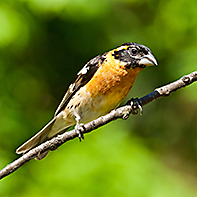 Black-Headed Grosbeak ID
