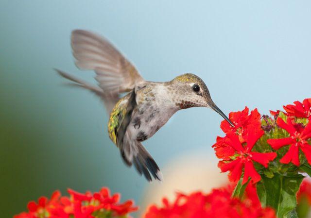 Hummingbird Gardens - Hierbas y flores para colibríes