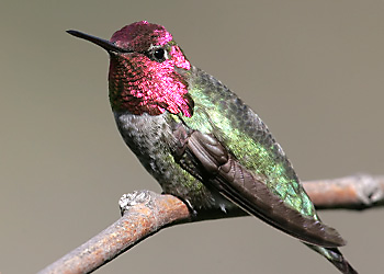 Anna's Hummingbird migration