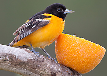 Baltimore Oriole migration