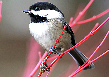 Black-capped Chickadee migration