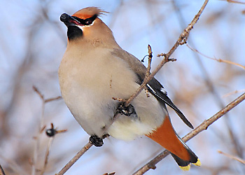 Bohemian Waxwing migration