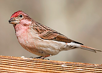 Cassin's Finch migration