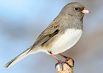 Dark-eyed Junco migration