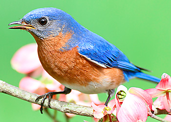 Eastern Bluebird migration
