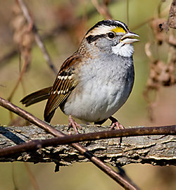 White-throated Sparrow Migration